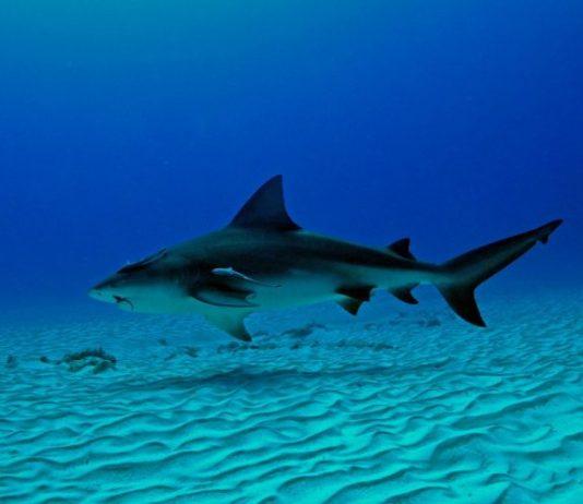 bull shark playa  del carmen