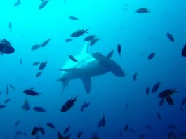hammerhead shark galapagos