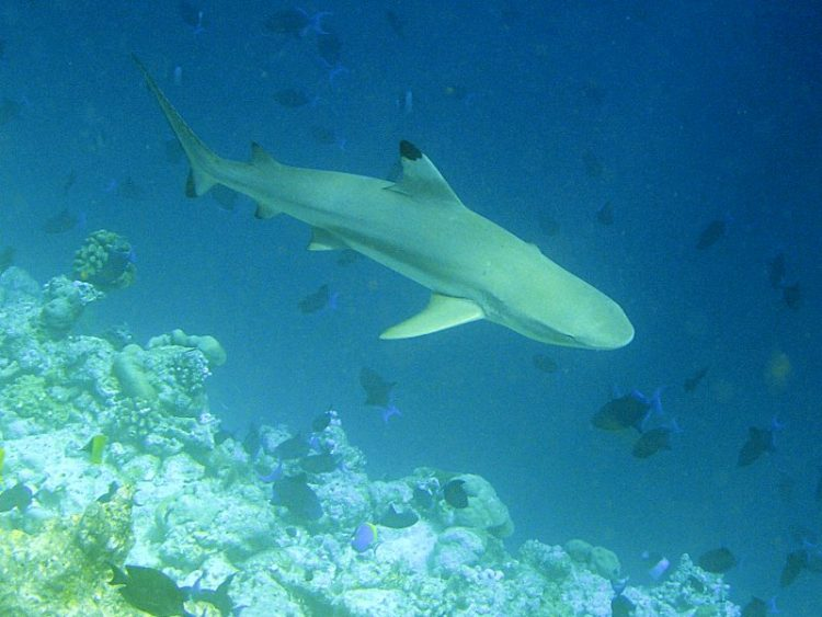 BlacktipReef Shark in the Caribbean sea