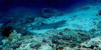 White tip reefshark