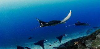 addu attol maldives manta rays