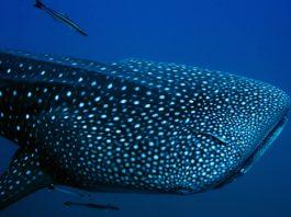 galapagos whaleshark 1