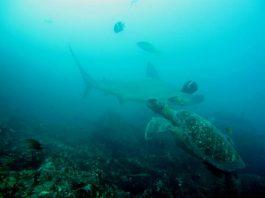 shark galapagos