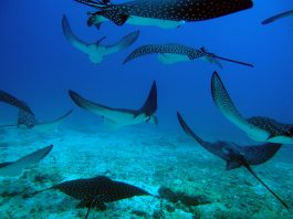 spotted eagle rays galapagos