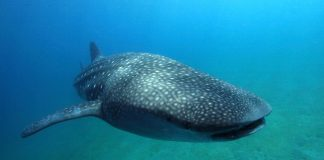whaleshark philipines