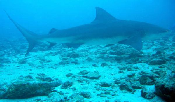 Bat Island  Costa Rica Bull shark