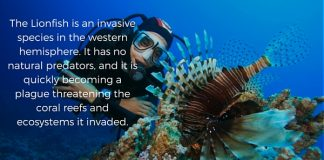 Lionfish invasive species
