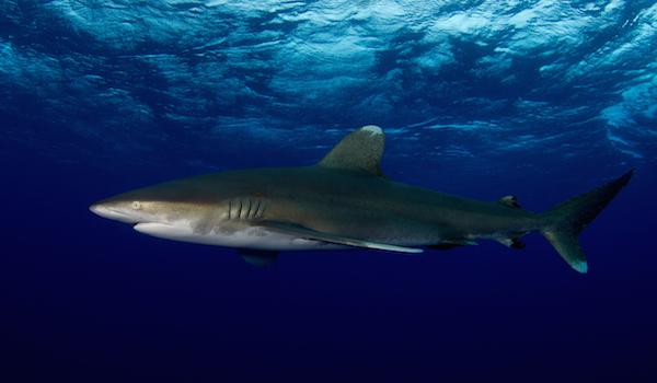 Oceanic_white_tip_shark_bahamas