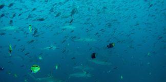 hammerhead sharks galapagos