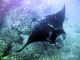manta ray sodwana bay