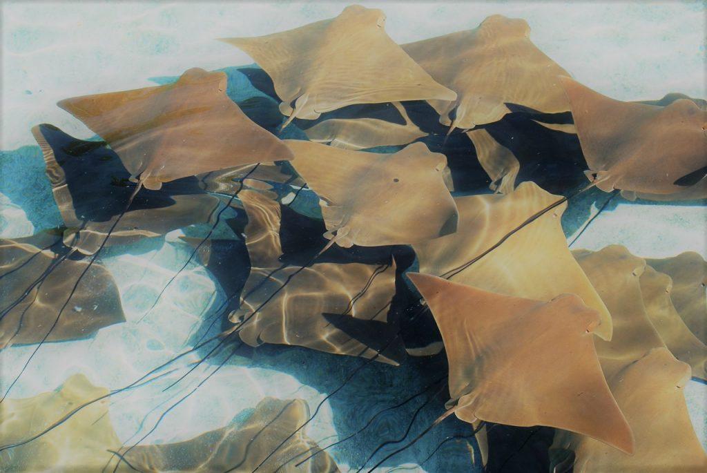 scuba diving galapagos golden manta rays