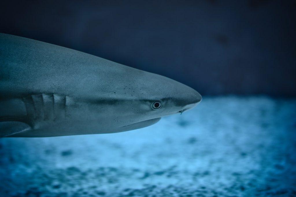 scuba diving galapagos shark